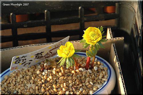 明るい黄金色の花 赤い茎 外来種の黄色い節分草