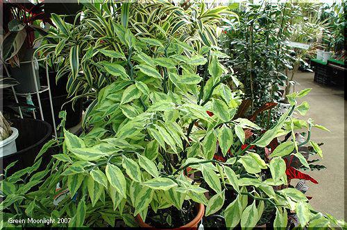 造花っぽいけれどセンスの良い観葉植物 ペディランサス
