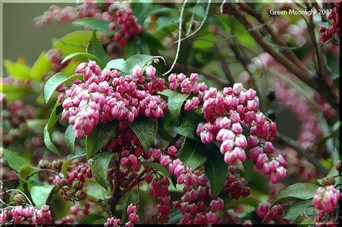 可愛らしい釣り鐘型の花をたくさん咲かせる アセビ