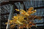 早春の庭を豪華に彩る黄金色の花 マホニア・チャリティ
