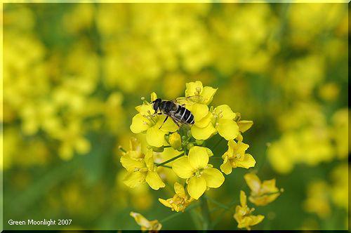 明るい4枚の黄色い花びら 菜の花? 油菜? 菜種?
