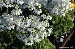 八重咲きプリムラ・マラコイデス 「メロンのかほり」