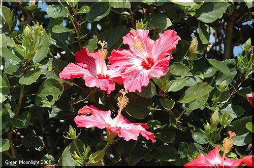 美しく、力強く、鮮やか 春風に咲き誇るハイビスカス