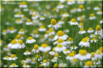 黄色く盛り上がる花床が印象的なジャーマンカモミール