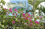 熱帯雨林を象徴する情熱色の花 ブーゲンビリア