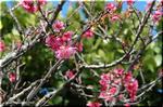 沖縄で「桜」と言えば寒緋桜(カンヒザクラ)でしたね