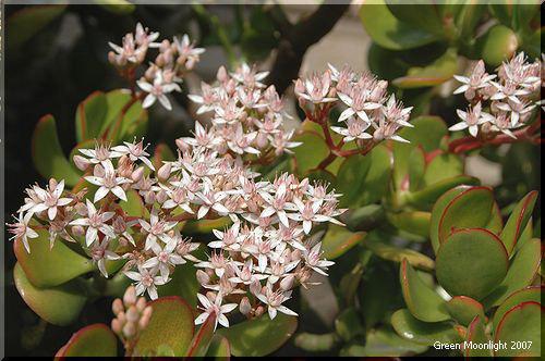 冬から春に花を咲かせる縁起物 「金のなる木」
