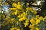 美しい葉に明るい花を咲かせる ギンヨウアカシア