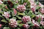 豊かな芳香を放つ ジンチョウゲ(沈丁花)の季節