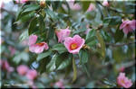 日本人の好みに合う「椿」の花 潔く散ってみせます
