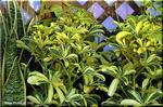 魅力的な観葉植物 ホンコン・カポック 'ハッピーイエロー'