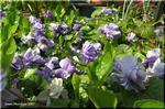 まろやかな芳香を放つ八重咲きのすみれ パルマスミレ