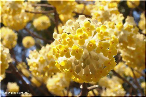三叉の枝先で鞠のような不思議な花を付けるミツマタ