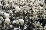 暖かいミルクのイメージがある春の木の花 ハクモクレン
