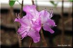 入江の波打ち際にも可愛い花を咲かせるゲンカイツツジ