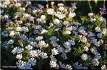 夕方は輝く白い花 昼は無垢な赤い花 ザルジアンスキア