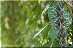 幻想的な青緑色をした巨大で花序 ヒスイカズラ(翡翠葛)