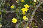 鮮やかな山吹色の迎春花 ウンナンオウバイ(雲南黄梅)