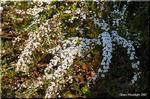 小さくて雪のように白い花を一気に咲かせる ユキヤナギ