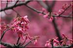 目を惹きつける濃い紅色の桜花 カンヒザクラ(寒緋桜)