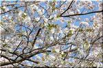 ソメイヨシノの片親で桜餅の葉と言えば オオシマザクラ