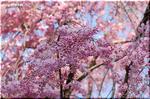 枝振りが日本人好み? 大事に育てられている しだれ桜