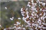 小さめで個性派のマメザクラ(豆桜)は富士山が大好き