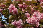 豪華絢爛! 葉と同時にたくさんの花を咲かせる八重桜