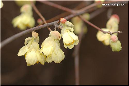 細い枝にクリームイエローの花が垂れる ヒュウガミズキ