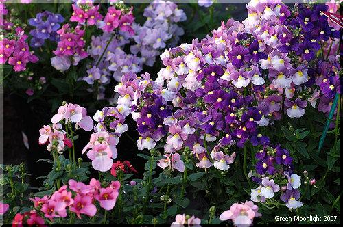 グラデーションのような柔らかな色の変化 ネメシア メロウ