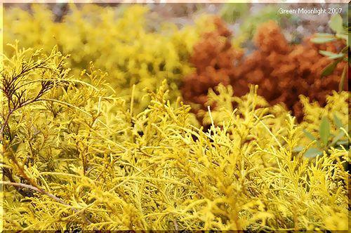 和洋どちらの庭にも調和する コニファー「ゴールドモップ」