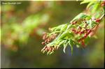 楽しみ方も千差万別 カエデ類の園芸品種は百花繚乱