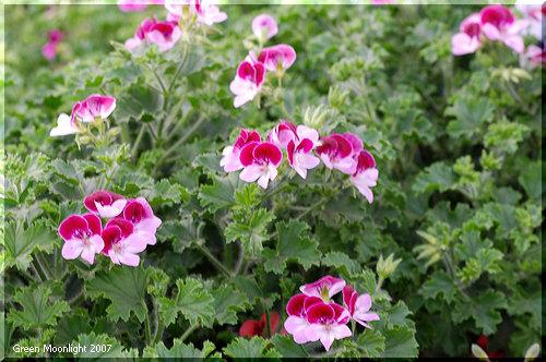 花色の変化が楽しい ペラルゴニウム「エンジェルアイズ」