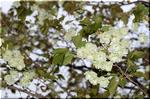 桃色の愛らしい姿 見事な花付きが嬉しい カイドウ(海棠)
