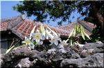 青い空 赤い瓦屋根に映えて輝く白い百合 テッポウユリ