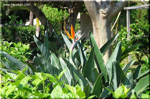 美しい鳥が羽ばたく姿をした ゴクラクチョウカ(極楽鳥花)