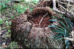 ジャングルにそびえる孤高の樹 ヤエヤマヤシ(八重山椰子)