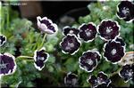 黒い小さな花がいっぱい! ネモフィラ 'ペニーブラック'