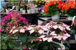 黄白に明紅の覆輪 鉢物向き品種 ユングフラウ 'ピコティ'