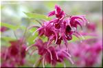 4本の距を下向きに拡げて優雅に咲く イカリソウ(錨草)