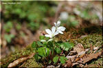明るい木洩れ日の下で咲く白い小さな花 ミヤマカタバミ