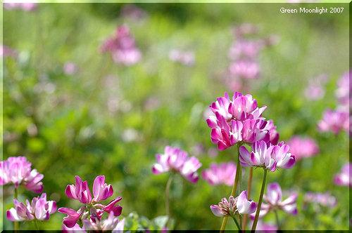 明るい青空に似合う紅色の花 有用植物レンゲ(ゲンゲ)