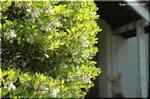白いベル状の花を下向きに咲かせる ドウダンツツジ