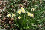 立ち性で品のある白い花を咲かせる シロバナタンポポ