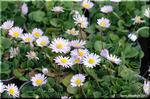 次々に可愛らしい花を咲かせる デージー「アルムの空」
