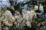 穏やかな芳香を放つ 輝くような品の良い房の白花 藤