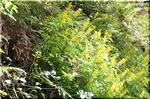 人気のない林道で木洩れ日を受けて輝く キケマンの仲間