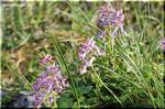 細長い筒状花で微妙な色変化が美しい ヤマエンゴサク