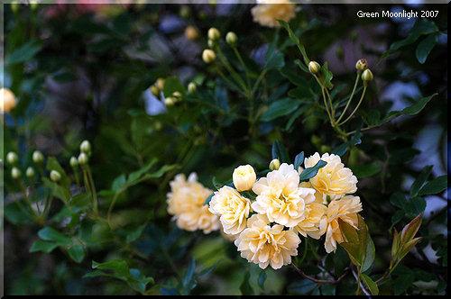 愛らしい淡黄色の八重花 棘のないモッコウバラ(木香茨)