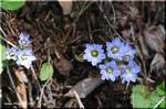 野山を彩るコバルト・ブルーの小さな花 フデリンドウ
